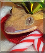 Red Velvet the Crested Gecko