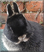 Levi the Netherland Dwarf Rabbit