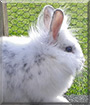 Schnuffel the Lionhead mix Rabbit