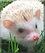 Otis the African Pygmy Hedgehog