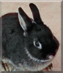 Wishes the Netherland Dwarf Rabbit
