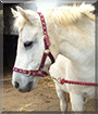 Flipper the Connamara/Welsh pony cross