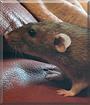 Zoe the Dumbo Rat
