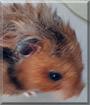 Josephine the Teddy bear Hamster