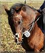 Darty the Warmblood Horse