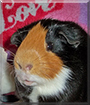 Freemont the Shorthair Guinea Pig