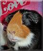 Freemont the Shorthair Guinea Pig