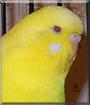 Sunny the Parakeet