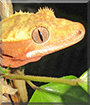 Lexus the Crested Gecko