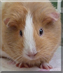 Afrodita the Guinea Pig