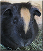 Chocolate the Guinea Pig