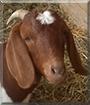 Elsa the Boer/Dairy Goat