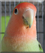 Nash the Peachfaced Lovebird