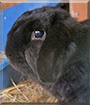 Ernst the Dwarf Lop Rabbit