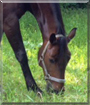 Cosma the Bay Horse