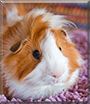 Toffee the Guinea Pig