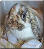 Olive the Holland Lop Mix Rabbit
