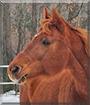 Lucy the Appendix Quarter Horse