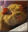 Caramel the Texel Guinea Pig