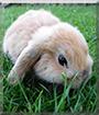 Nikolaus the Lop Rabbit