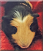 Pepper the American Crested Guinea Pig