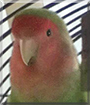 Pucki the Peach-faced Lovebird