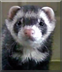 Panda the Ferret
