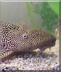 The Catfish the Pleco