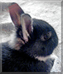 Sweety the Dwarf Rabbit