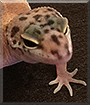 Tangi the Tangerine Gecko