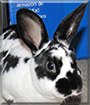 Rex the Mini Rex Rabbit