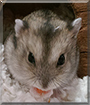 December the Winter White Dwarf Hamster