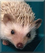 Spud the African Pygmy Hedgehog