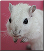 Juli the Gerbil