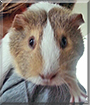 Pumpkin the Guinea Pig