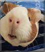 PJ the Guinea Pig