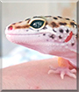 King Tut the Leopard Gecko