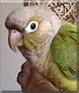 Cinnamon the Cinnamon Green Cheek Conure