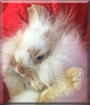 Taffy the Lop Lionhead Rabbit
