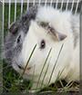 Loki the Guinea Pig