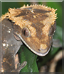 Marnie the Crested Gecko