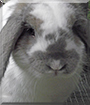 Felix the Lop Rabbit