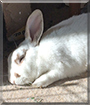 Olaf the American Rabbit mix