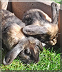 Hoppel, Freddachs the Lop Rabbits