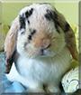Bunia the MiniLop Rabbit