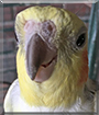 Peaches the Cockatiel