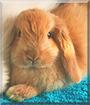 Finn the American Lop Rabbit