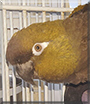 Rickeybird the Patagonian Conure
