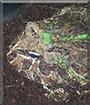 Bartleby the Argentine Horned Frog