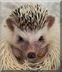 Poncho the African Pygmy Hedgehog